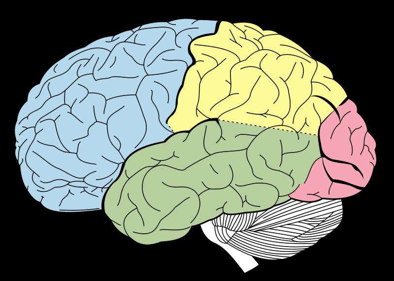 Kannabis menee aivoihin